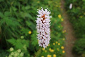 飯豊山の花々
