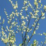 屋久島の桜