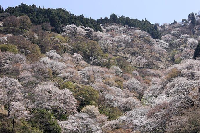 吉野山の桜「中千本滝桜」