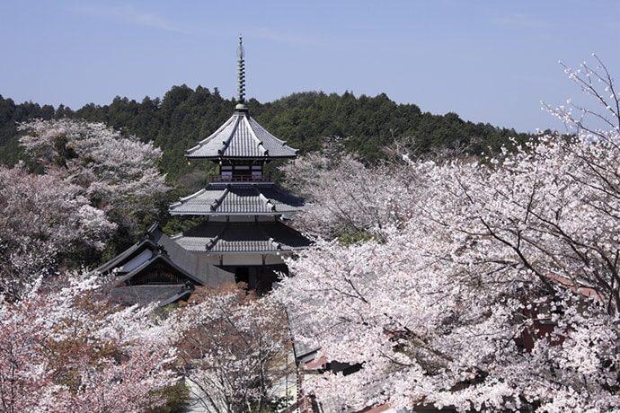 吉野山の桜「吉野朝宮跡」