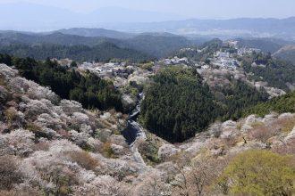 吉野山の桜「布引の桜」