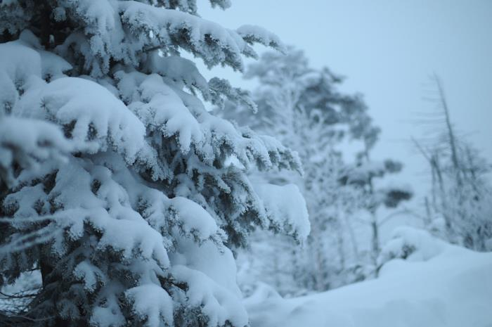 樹木に雪がついている