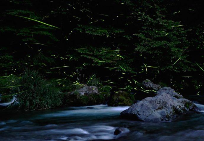 年に一度この時期しか見られない、自然が作り出す幻想的風景 「名栗のほたる観賞の集い」