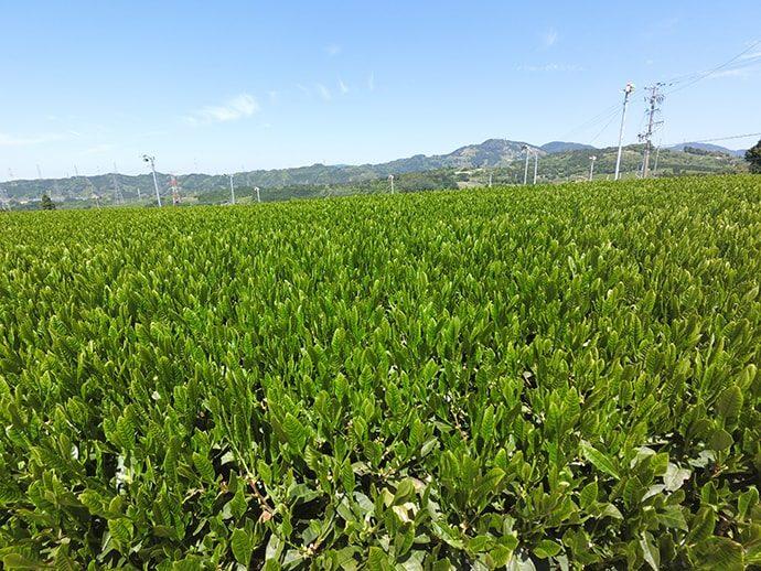東海道五十三次 茶畑