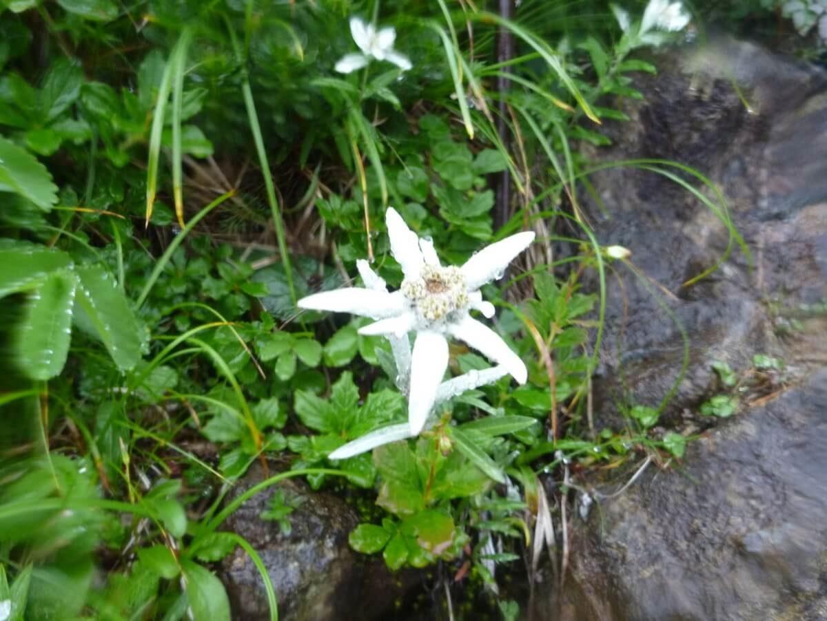 早池峰山はハヤチネウスユキソウという固有種の花
