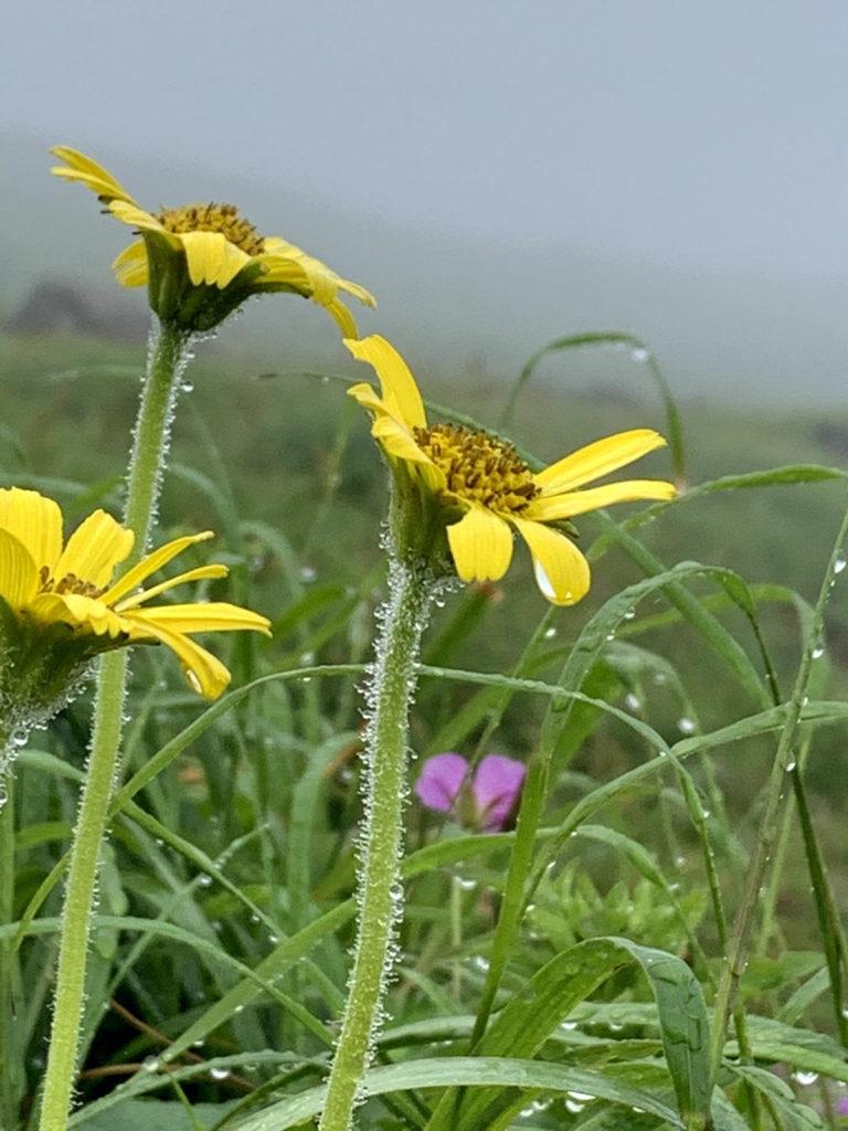高山植物ウサギギク