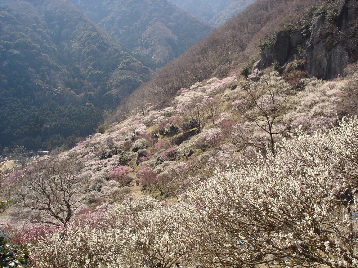 幕山・南郷山 2月のウメの時期が美しい
